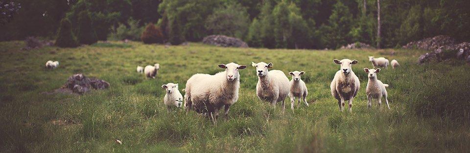 sheep-pasture-960.jpg
